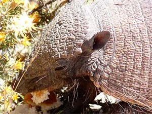 What do armadillos eat