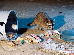 How to Get Rid of Raccoons: Best Raccoon Control Tips
