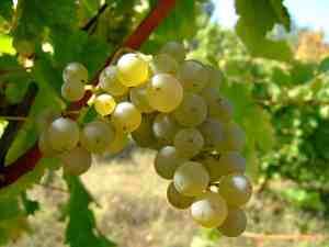 Sauvignon blanc grapes