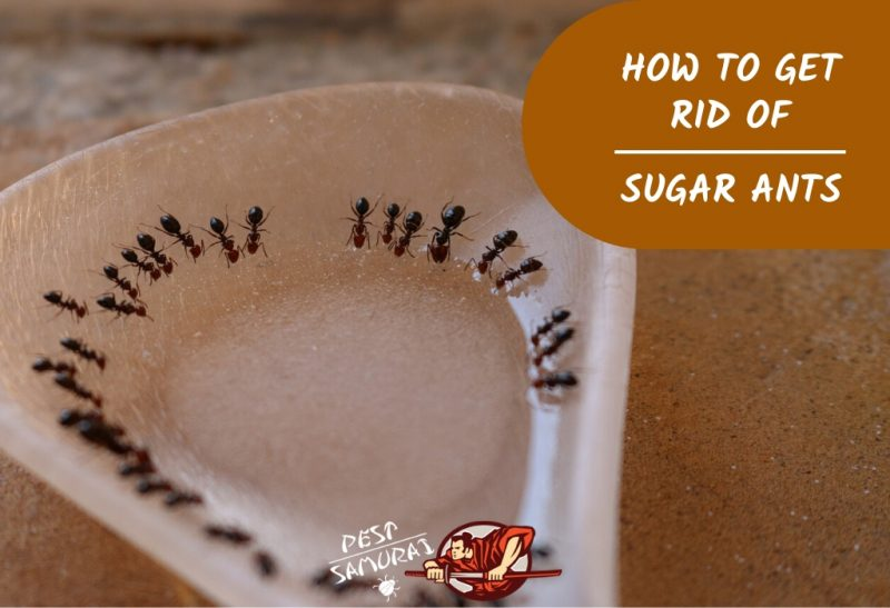 How To Get Rid Of Sugar Ants In The House A Complete Guide Pest Samurai