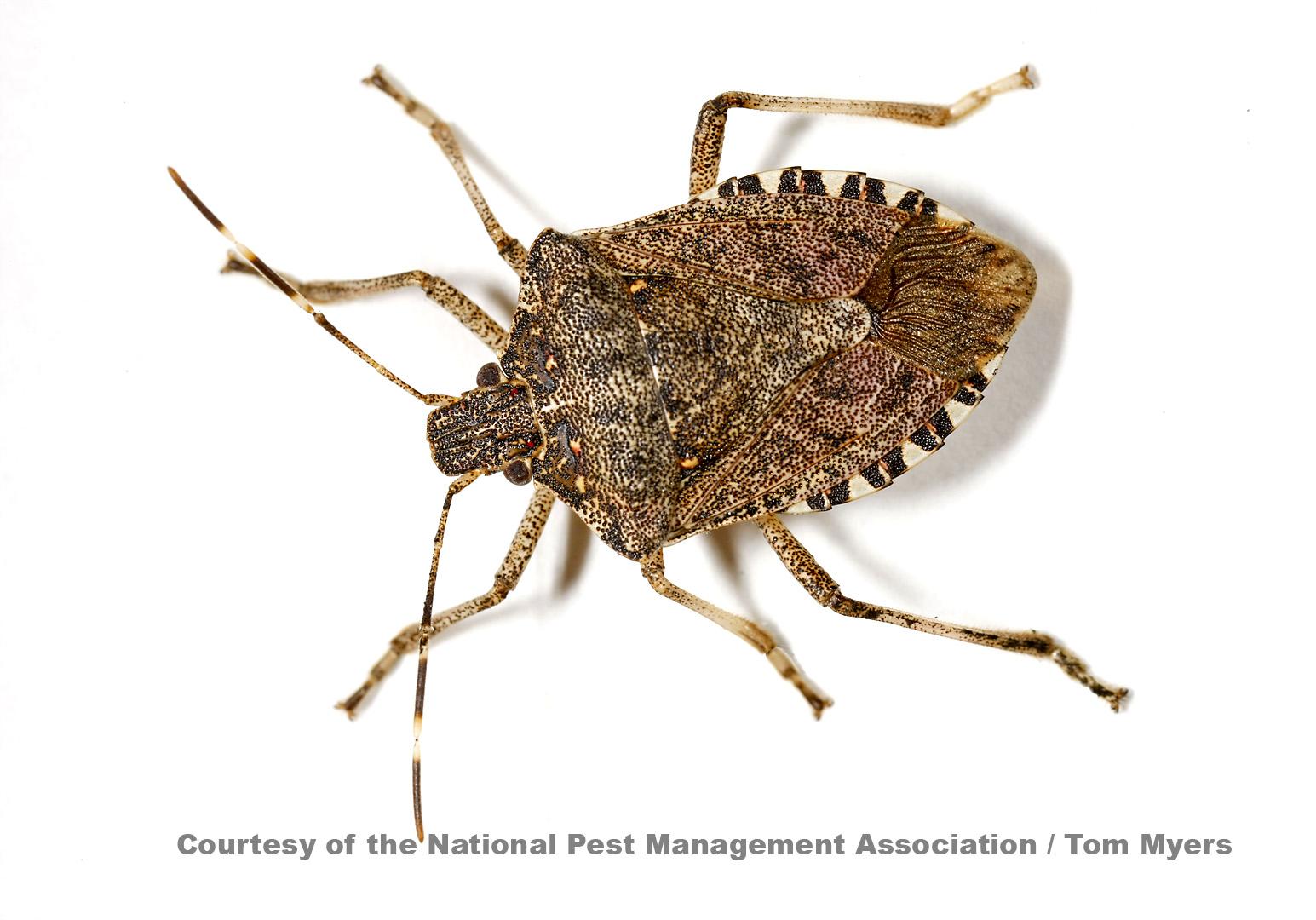 Stink Bugs Stink Bug Pest Facts Amp Information For Kids