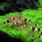 エビの水槽のレイアウト!おすすめの水草やおしゃれなインテリアは?
