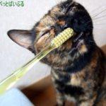 猫の歯磨きにはおやつを!歯垢に効果があるおすすめ商品とは?