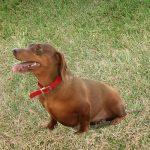 ダックスフンドの老犬がかかりやすい病気の種類って?症状や原因、対処方法とは?