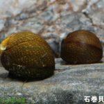 石巻貝を繁殖させる方法は淡水よりも汽水がいい?成功させるには?