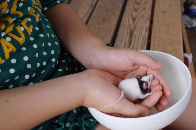 パンダマウス 飼い方