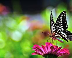 アゲハ蝶 飼育方法
