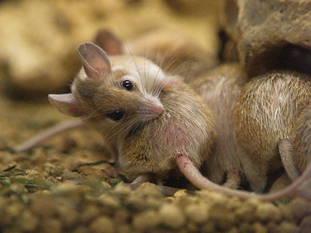 カイロトゲマウス 飼育