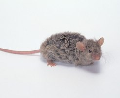 マキゲマウス 飼育方法