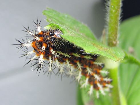 ルリタテハ 幼虫 飼育