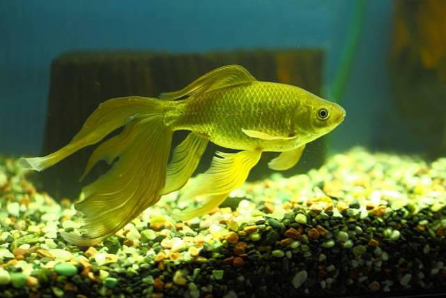 鉄魚 飼育