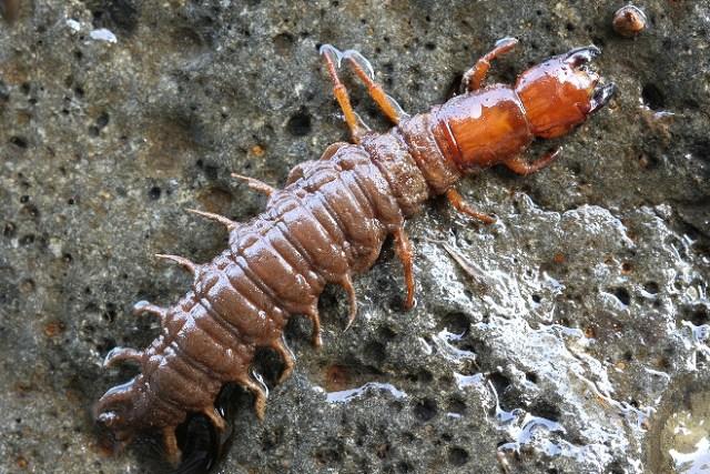 ヘビトンボ 幼虫 飼育