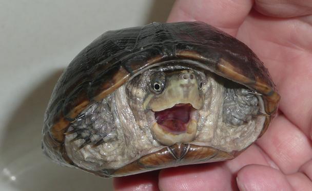 ミシシッピニオイガメ 飼育