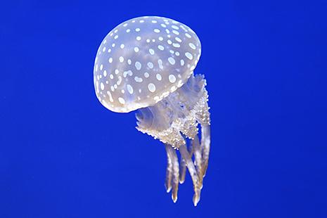 クラゲ 種類