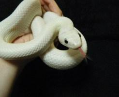 ペット ヘビ 種類