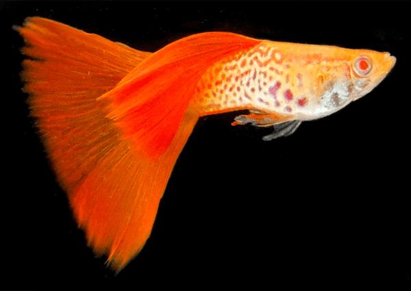 グッピー 稚魚