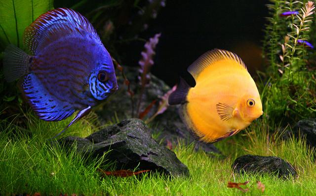 ディスカス 飼育方法 繁殖 寿命 餌 販売価格
