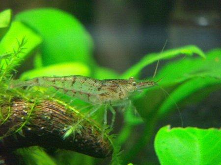 ミナミヌマエビ 繁殖