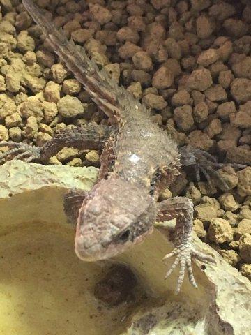 ヒナタヨロイトカゲ 飼育
