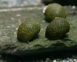 石巻貝 飼育