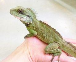 インドシナウォータードラゴン トカゲ 爬虫類