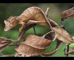 エダハヘラオヤモリ 飼育 寿命