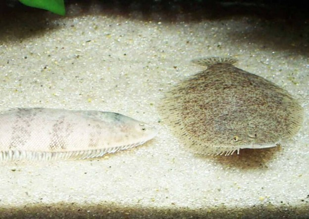 淡水フグ 飼育