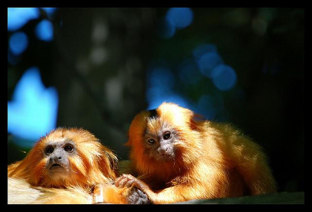 ゴールデンライオンタマリン 飼育 生息地 餌