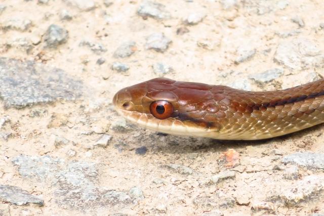 シマヘビ アオダイショウ 違い 飼育 寿命 毒性 天敵
