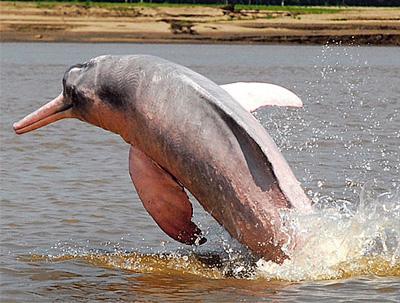 アマゾンカワイルカ 伝説 天敵 寿命 恐い