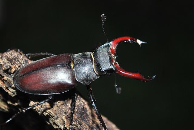 クワガタ 幼虫 ワインセラー アルビノ 天敵 寄生虫