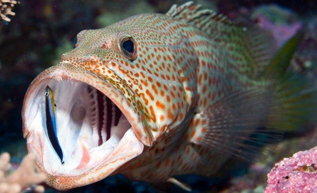 ホンソメワケベラ 飼育方法 寿命 混泳 餌 性転換