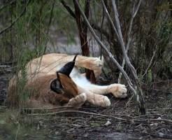 カラカル ペット 飼育 販売 鳴き声
