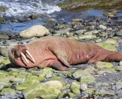 セイウチ トド 違い 牙 鳴き声 寿命