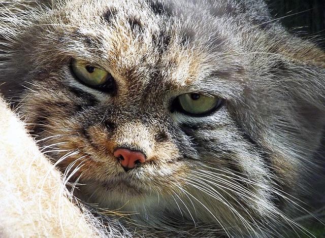 マヌルネコ ペット 飼育 性格 鳴き声 動物園