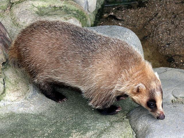 アナグマ ハクビシン 違い 鳴き声 生態 飼育