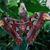アトラスモス ヨナグニサン 幼虫 生息地 標本