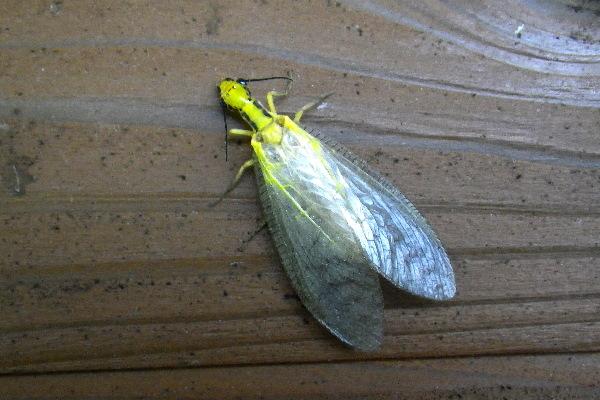 ヘビトンボ 幼虫 蛹 噛む 動く 成虫 活動時期