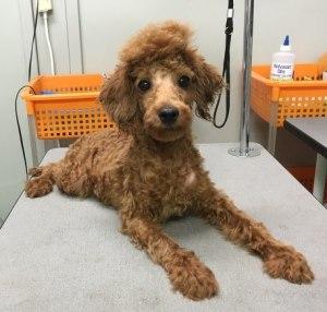 トイプー・保護犬マッチングサイト