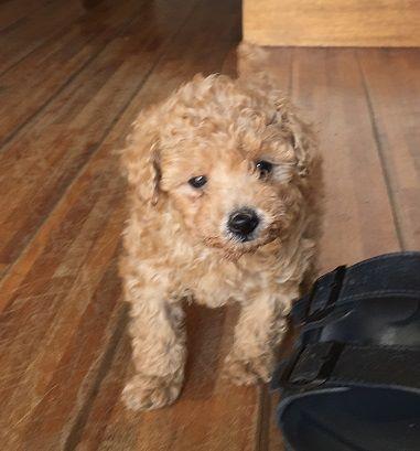 保護犬トイプー