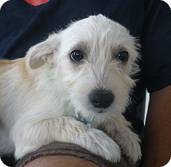 Santa Ana CA Cairn Terrier Meet Ivory A Dog For Adoption