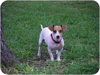 San Antonio Tx Jack Russell Terrier Meet Meme In San