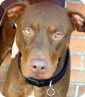 Los Angeles CA Doberman Pinscher Meet Bandit VIDEO A