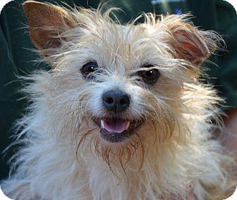 Londonderry NH Yorkie Yorkshire Terrier Meet Bonnie A