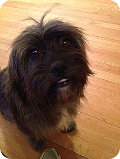 Shih Tzu/Lhasa Apso Mix Dog for adption in W. Warwick, Rhode Island - SADIE