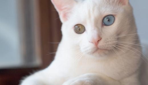 猫がオッドアイになる確率とは?オッドアイにまつわるお話