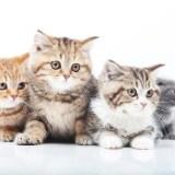 猫のブリーダーになるにはどうすれば良い?猫のブリーダーになる方法