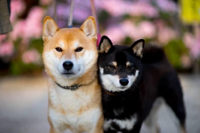 柴犬 飼い方 初心者 性格