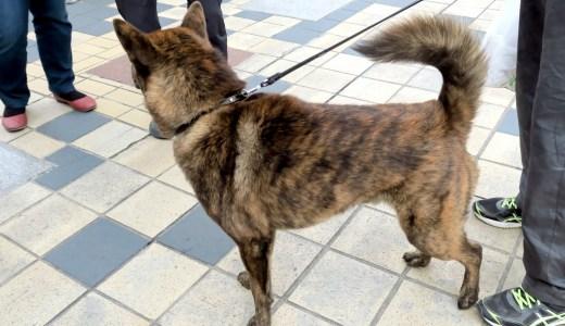 甲斐犬の性格や特徴を知っていますか?日本古来の甲斐犬完全ガイド!