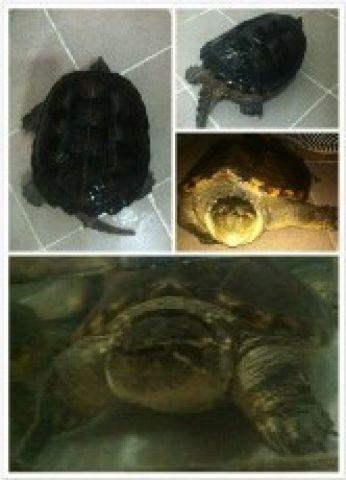 放美國佛鱷龜 (平背) | Zone One Zone - 寵物推介